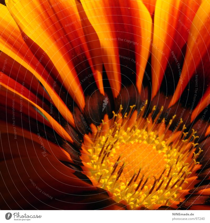 Nature Red Summer Yellow Colour Blossom Warmth Moody Brown Orange Blaze Arrangement Near Physics Blossoming Square