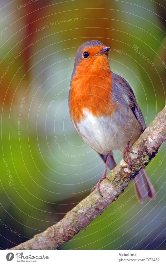 Green Red Animal Natural Gray Bird Orange Robin redbreast