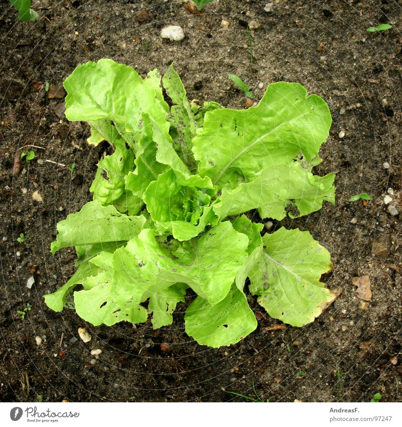 Nature Green Plant Nutrition Garden Healthy Earth Fresh Vegetable Vitamin Organic produce Garden Bed (Horticulture) Lettuce Gardener Vegetarian diet