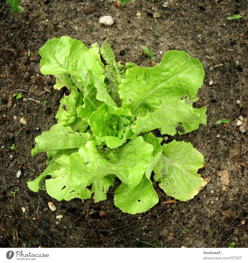 salad Lettuce Garden Bed (Horticulture) Gardener Vitamin Green Iceberg lettuce Vegetarian diet Salad leaf Fresh Healthy Plant Vegetable allotment holder Earth