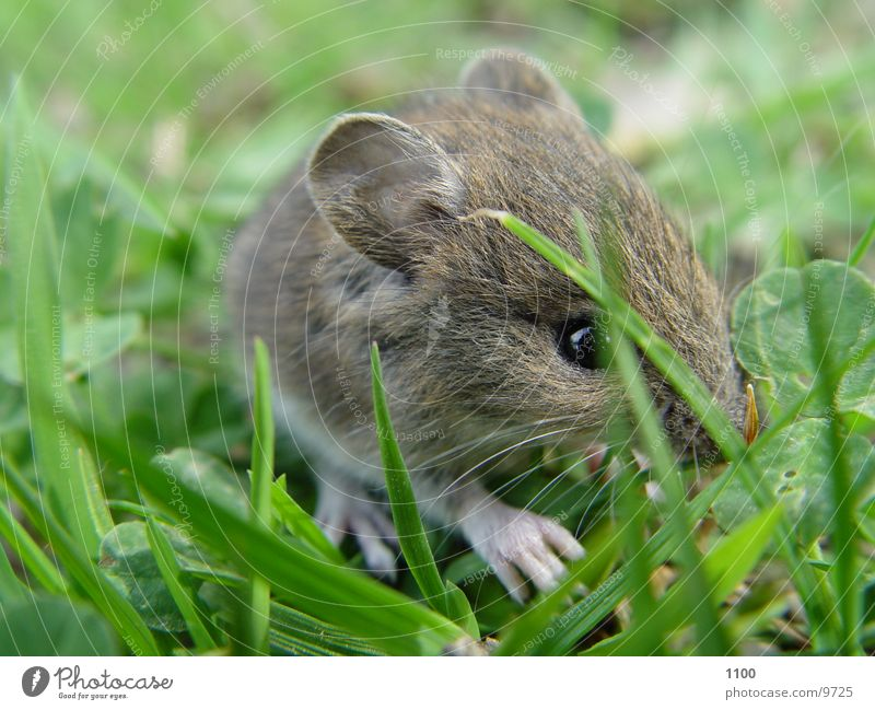 little mouse Field Grass Sweet Field vole Meadow Rodent Mammal Mouse little animal