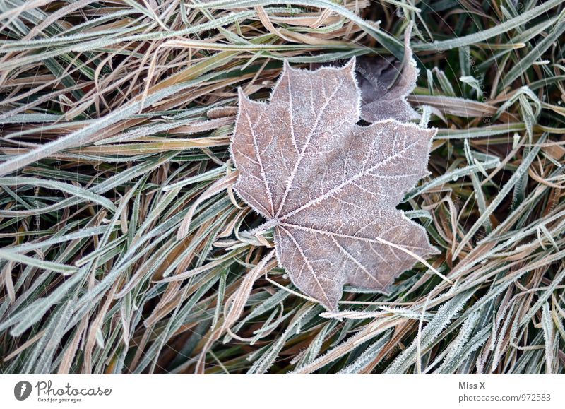Ice on ice Nature Winter Weather Bad weather Frost Snow Grass Leaf Cold Emotions Moody Sadness Grief Death Hoar frost Frozen Maple leaf Colour photo