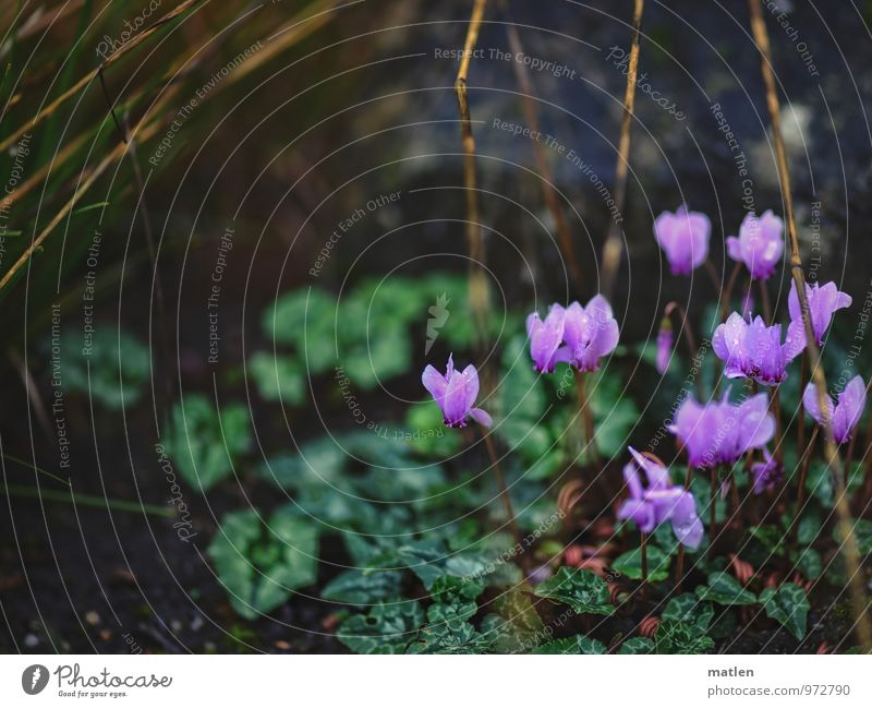 last blossoms Plant Winter Leaf Blossom Foliage plant Wild plant Garden Hill Blossoming Brown Green Pink Stalk Cyclamen Colour photo Subdued colour