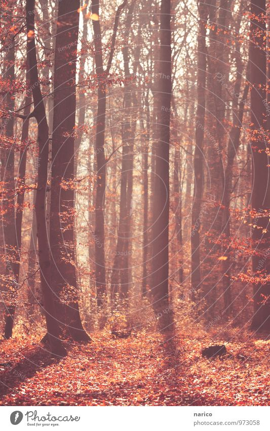 mysterious forest Environment Nature Plant Autumn Beautiful weather Tree Leaf foliage Forest Wood Natural Red Colour photo Subdued colour Exterior shot Day