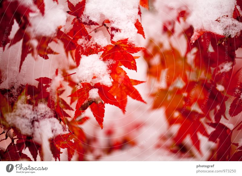 Autumn with snow Life To talk Art Nature Plant Air Water Winter Ice Frost Snow Snowfall Tree Forest Beetle Wood Growth Cold Pink Red White Emotions Earth Ground