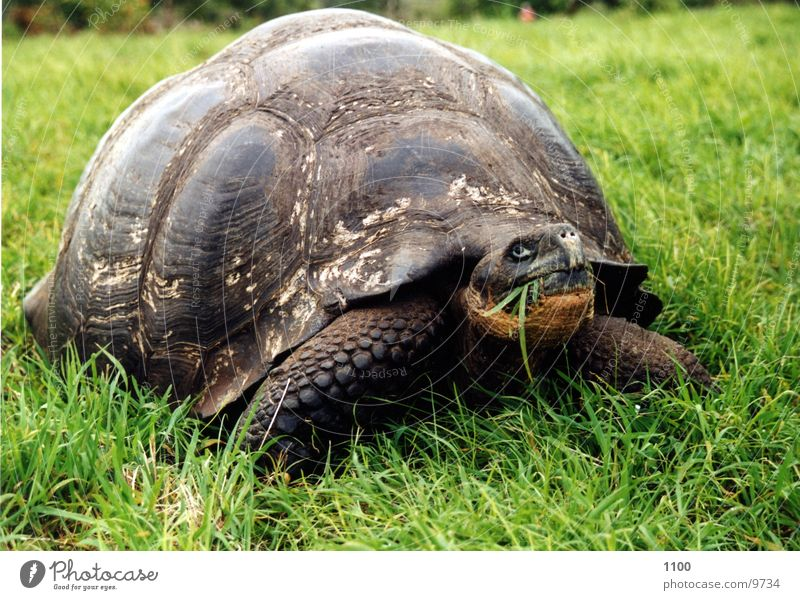 turtle Turtle Large Giant tortoise Galapagos islands Reptiles Appetite Meadow South America grass Nutrition