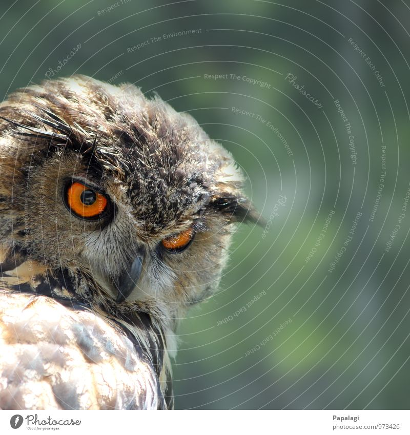 Nothing escapes her... Animal Wild animal Bird Owl birds Eagle owl 1 Observe Hunting Esthetic Brown Orange Serene Patient Calm Wisdom Hunter Bird of prey Beak