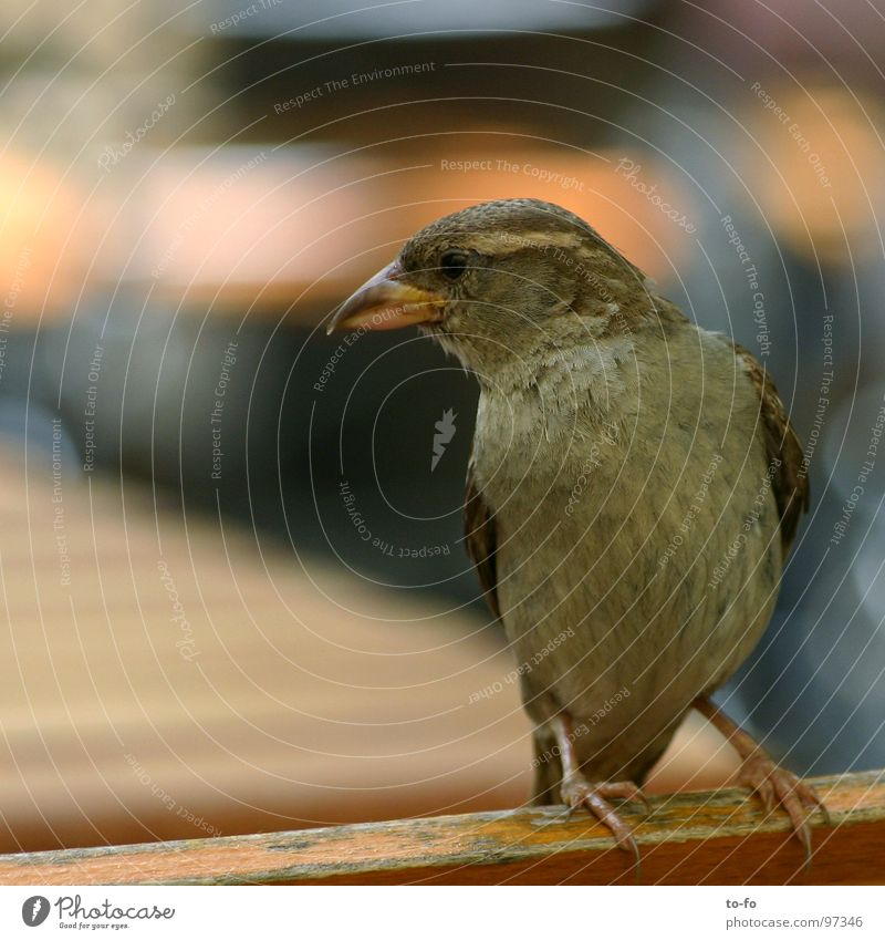 Gray Bird Small Flying Roof Feather Gastronomy Pigeon Brash Sparrow Animal