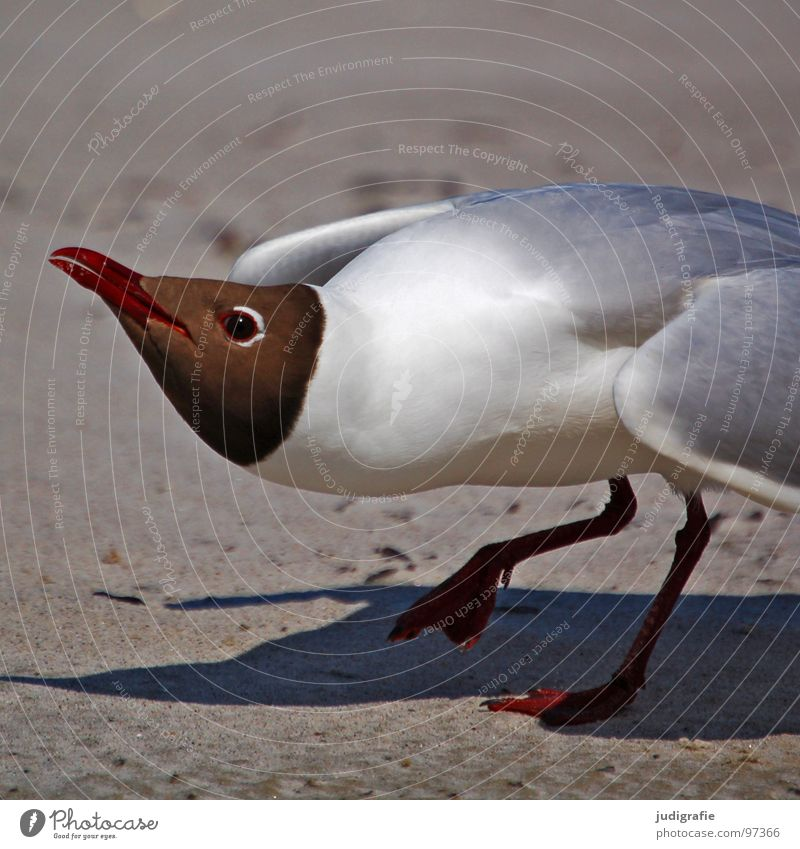 offensive Black-headed gull  Seagull Bird Summer Beach Ocean Lake Vacation & Travel Feather Beak Fischland Western Beach Menacing Threaten Ornithology
