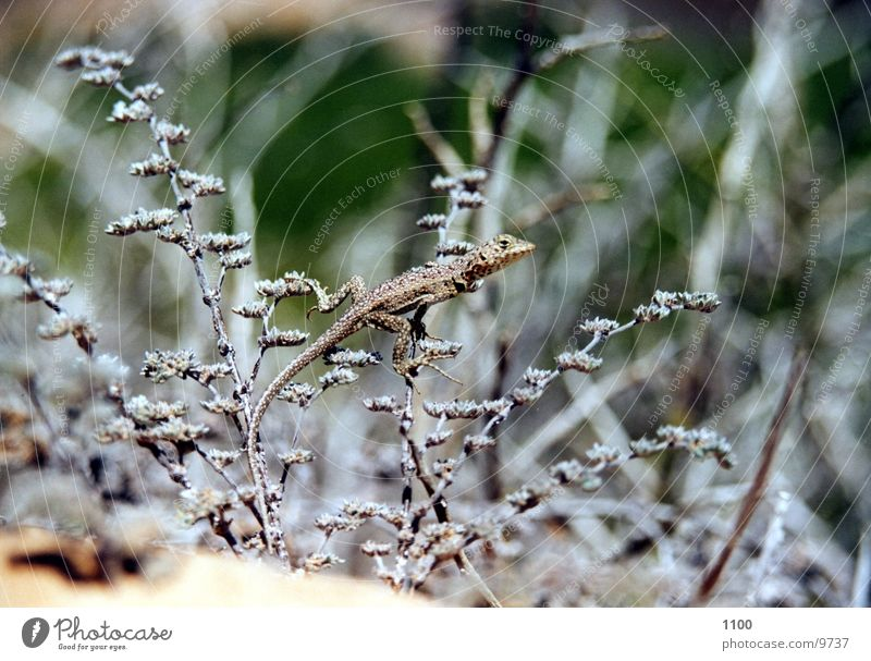 lizard Lizards Saurians Grass Bushes Floor covering Sand