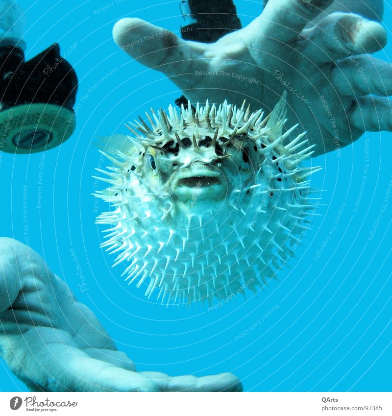 Blown up! Globefish Diver Ocean Hand Fish Aquatics Water Blue Animal portrait Animal face Bizarre Underwater photo