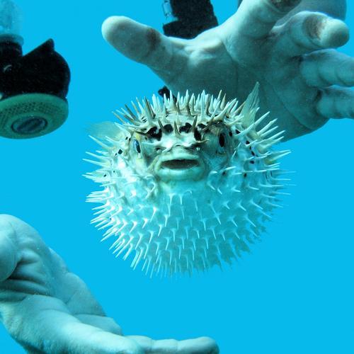 Blown up! Globefish Diver Ocean Hand Fish Aquatics Water Blue Animal portrait Animal face Bizarre Underwater photo