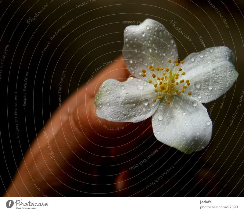for you... Flower Blossom Hand Blossom leave Rain Drops of water Blossoming Dark Bright Foreground Four-leaved White Calm Peace Pure Picked Plant Spring Summer