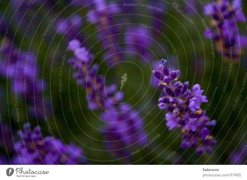 The scent of lavender Lavender Violet Plant Blossom Green Aromatic Medicinal plant Perfume Fragrance Odor