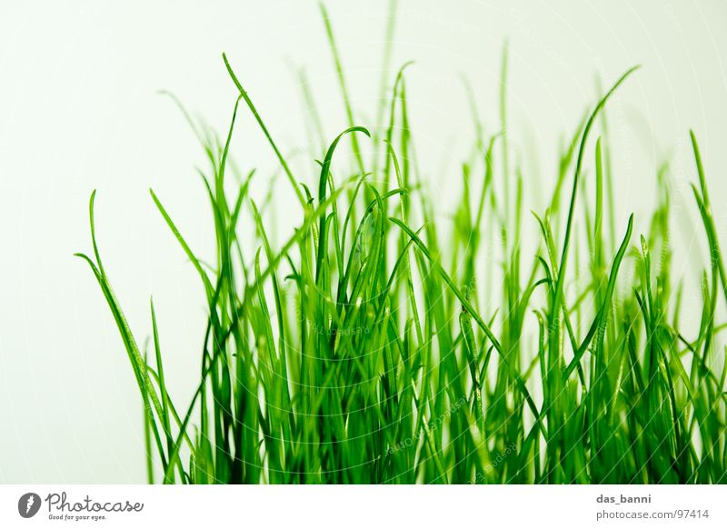Grass Plant Blade of grass Knoll Photosynthesis Grass green Tuft of grass Bright background