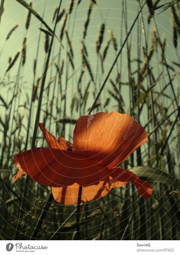 Flower Green Red Blossom Orange Delicate Grain Blossoming Poppy Beautiful weather Cornfield Faded Blossom leave Corn poppy Wayside