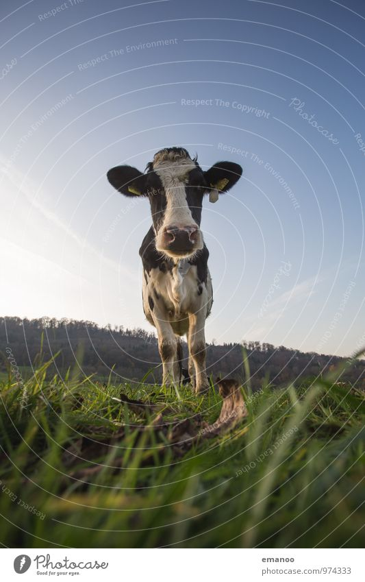You cow? Vacation & Travel Tourism Trip Mountain Hiking Nature Landscape Plant Animal Sky Grass Meadow Field Farm animal Cow 1 Observe Looking Stand Thin