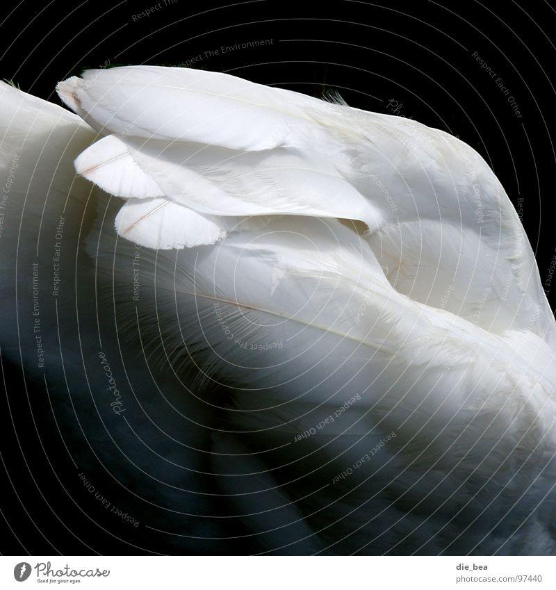 swan Swan Bird Feather White Black tail feather Black & white photo