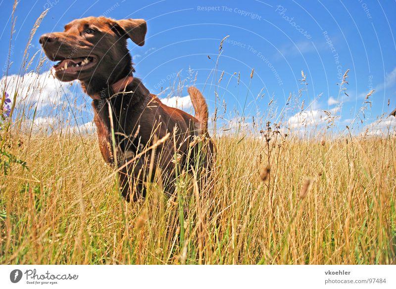 jumpinsfeld Dog Cornfield Animal Summer Autumn Meadow Joy Mammal Hunting Freedom