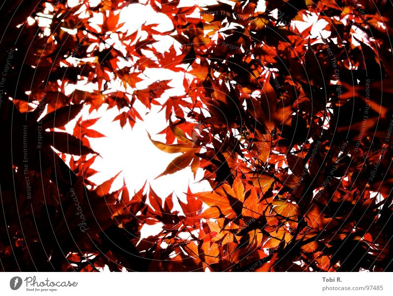 autumnal Leaf Light Dark Nature Plant Flower Sky White Red Bright red Hope Expectation Wake up Exterior shot Autumn Seasons Multicoloured Life leaves sharp
