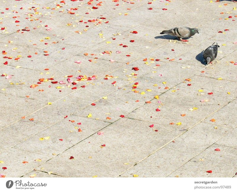 the bird wedding Pigeon 2 Sidewalk Blossom Blossom leave Red Yellow Distributed Gray Calm Together Diligent Collection Summer Spring Bird Animal Places