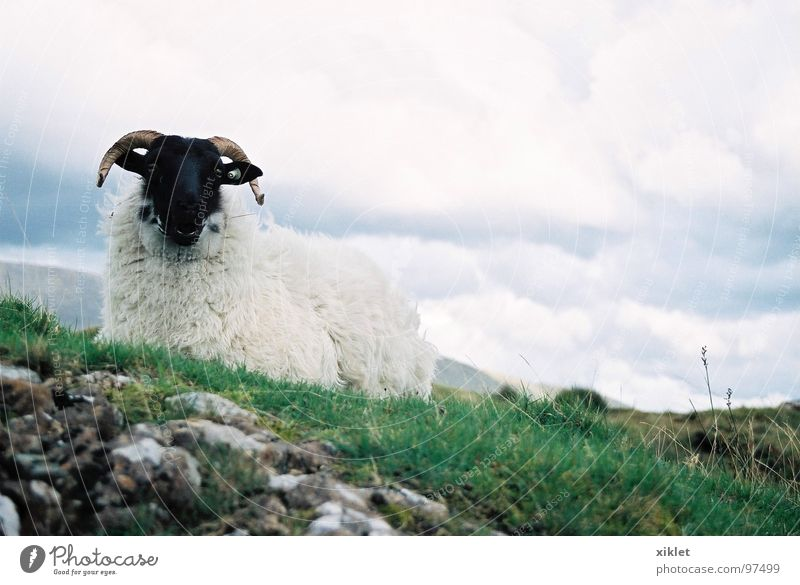 sheep Sheep Grass Pasture Green White Black Antlers Stony Sit Lie Ireland Clouds in the sky Covered Exterior shot Colour photo Deserted Worm's-eye view