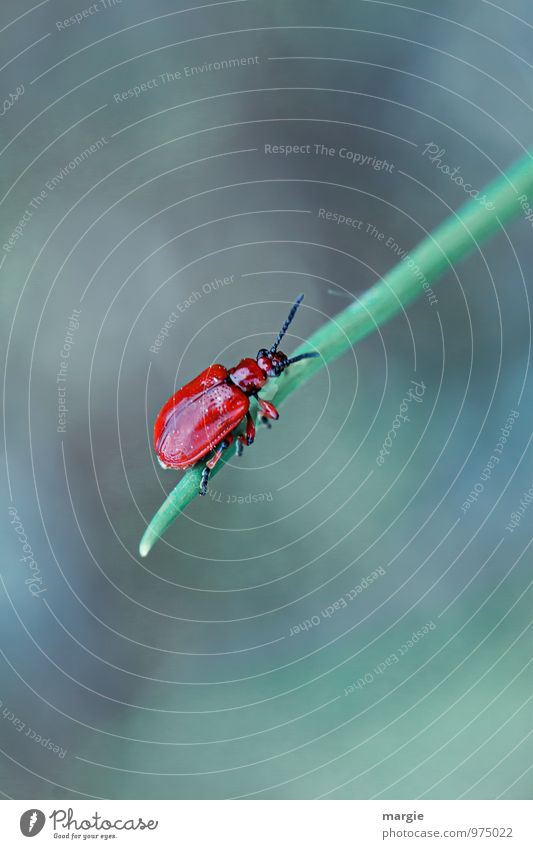 Red beetle on a blade of grass Environment Nature Plant Grass Leaf Animal Wild animal Beetle 1 To hold on Hang Crawl Athletic Green Bravery Success Beginning