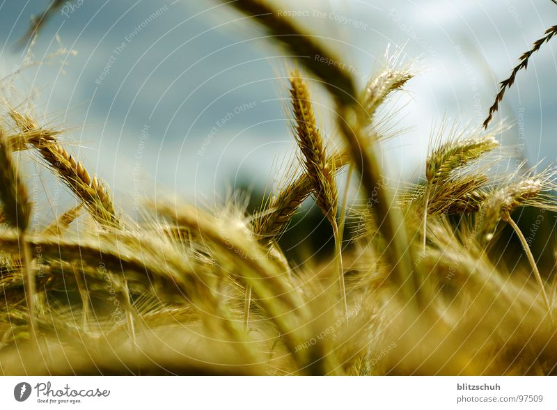 Nature Life Field Wind Food Nutrition Agriculture Switzerland Grain Direction Muddled Cornfield Left Wheat Right Wheatfield
