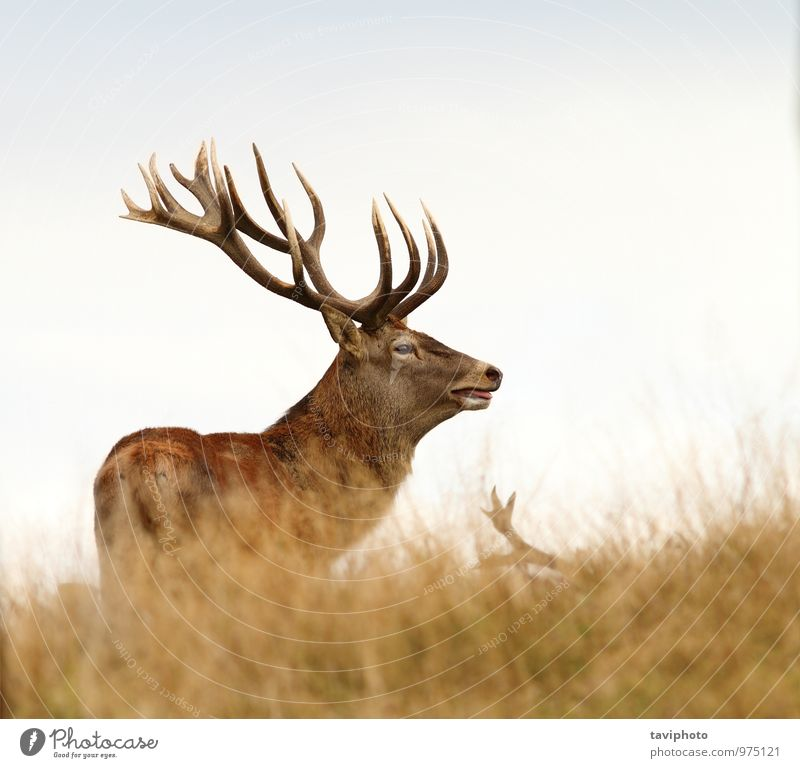 beautiful red deer stag standing on a glade Nature Man Beautiful Colour Loneliness Red Animal Forest Adults Autumn Meadow Playing Brown Wild Stand Large