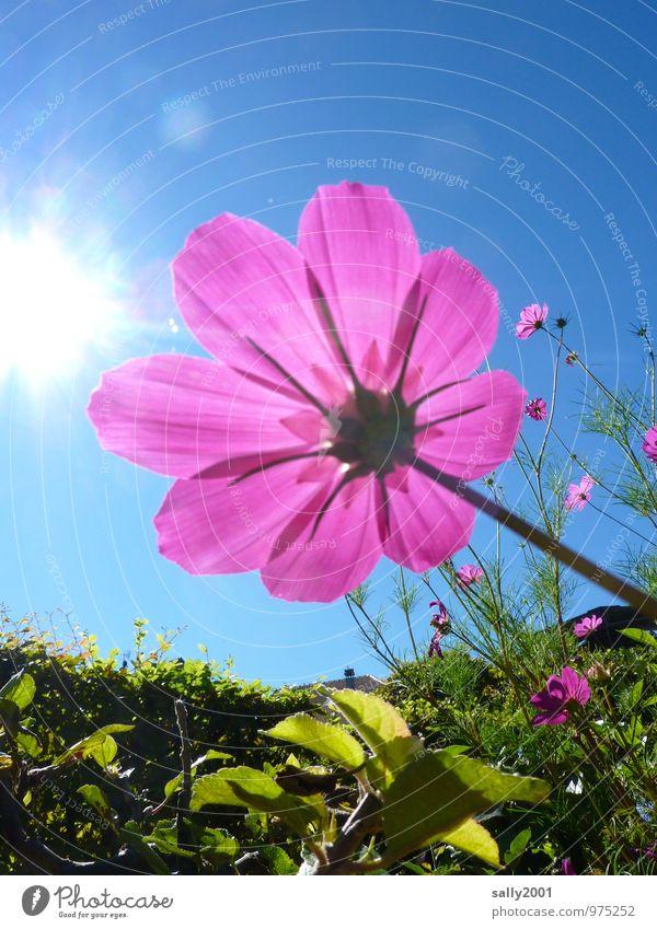 luminosity Sun Sunlight Summer Beautiful weather Plant Flower Blossom Cosmos Hedge Garden Park Touch Blossoming Fragrance Illuminate Esthetic Happiness Fresh