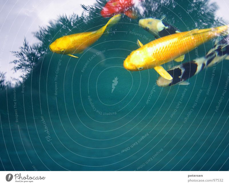 Floating investment Koi Pond Yellow Multicoloured Fish Japan Water Carp Nishikigoi Swimming & Bathing