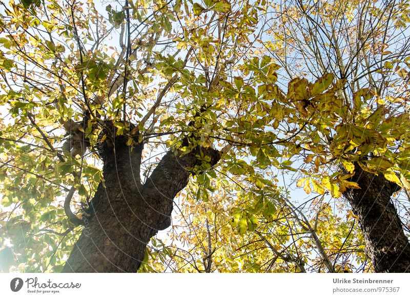 The light in the chestnuts Environment Nature Plant Sky Autumn Beautiful weather Tree Leaf Chestnut tree Tree trunk Park Illuminate To dry up Natural Warmth