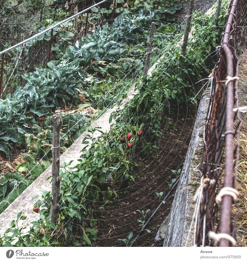 Plant Green Red Healthy Line Brown Work and employment Field Earth Fresh Agriculture Vegetable Harvest Effort Forestry Arrange