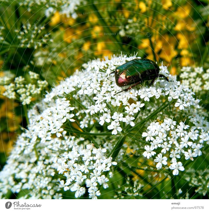 beetle Animal Beetle Small Disgust Dazzling Glittering White Green Yellow Flower Blur Near Macro (Extreme close-up) Plant Plantlet Hideous Nature Rose beetle