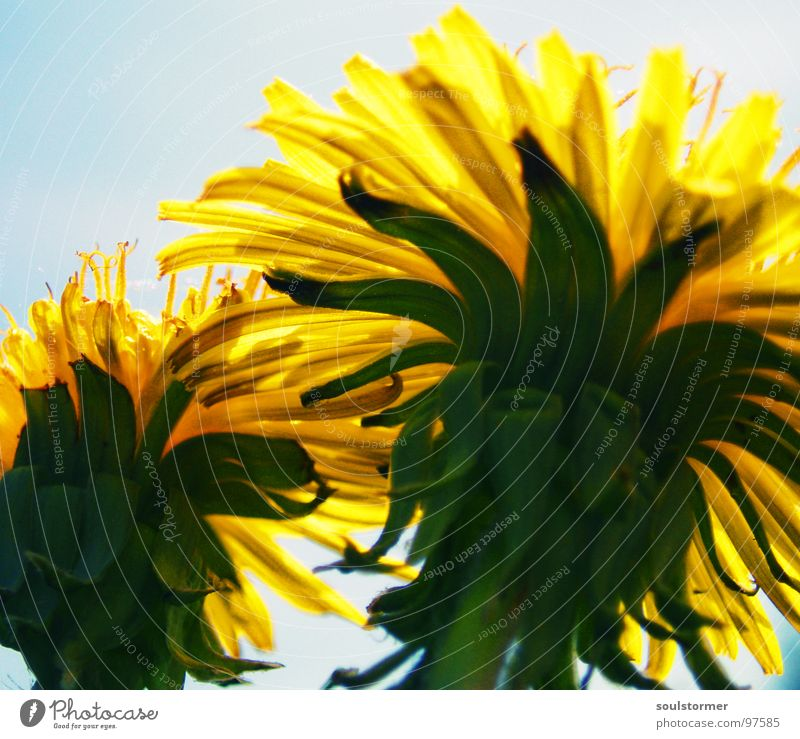 Sky Sun Flower Green Blue Plant Summer Yellow Spring Safety Protection Umbrella Dandelion Hide Safety (feeling of) Duck down