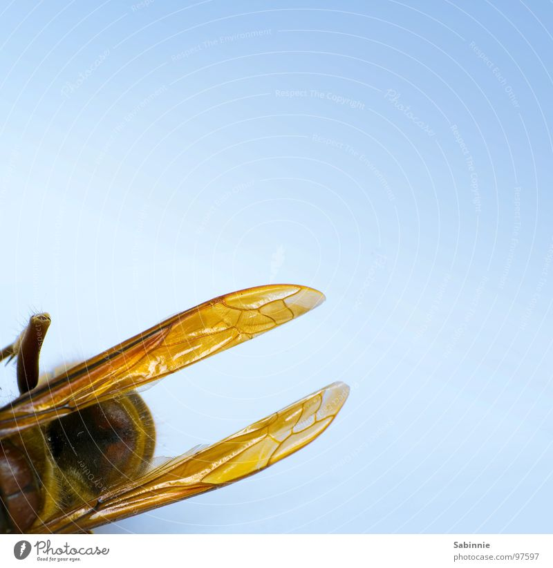 Yellow Death Brown Flying Wing Insect Delicate Motionless Spine Pierce Hornet