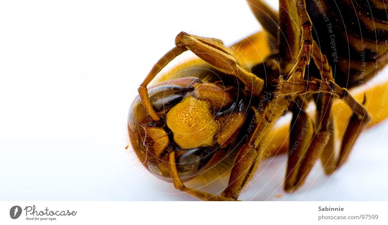 Yellow Death Legs Brown Flying Wing Insect Delicate Motionless Spine Pierce Folded Hornet Compound eye