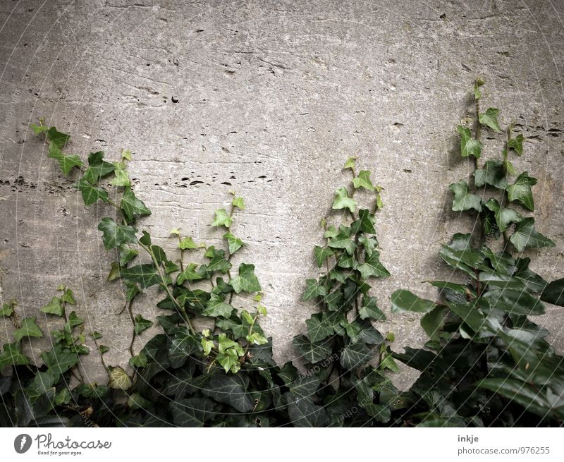 cemetery plant Nature Summer Autumn Ivy Deserted Wall (barrier) Wall (building) Garden Growth Gray Green Decline Transience Overgrown Evergreen plants Tendril