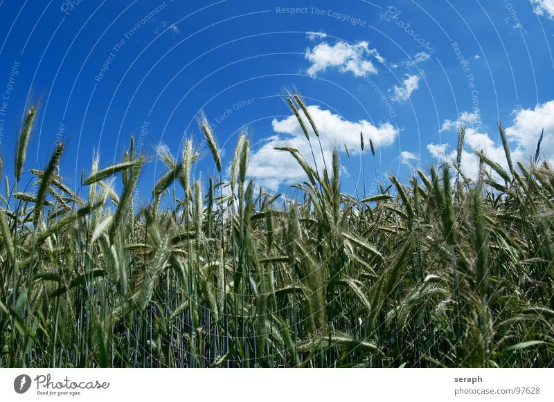 Infield Meadow Field Rye Wheat Barley Green Horizon Clouds Summer Environmental protection Blade of grass Ear of corn Ecological Cornfield Rural Agriculture
