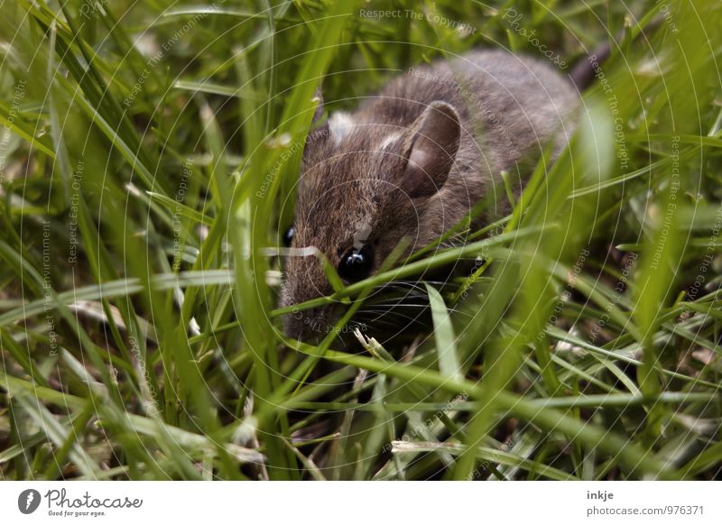 Mice 3 Spring Summer Grass Meadow Animal Wild animal Mouse Animal face 1 Crouch Crawl Free Small Curiosity Cute Brown Green Emotions Protection Nature
