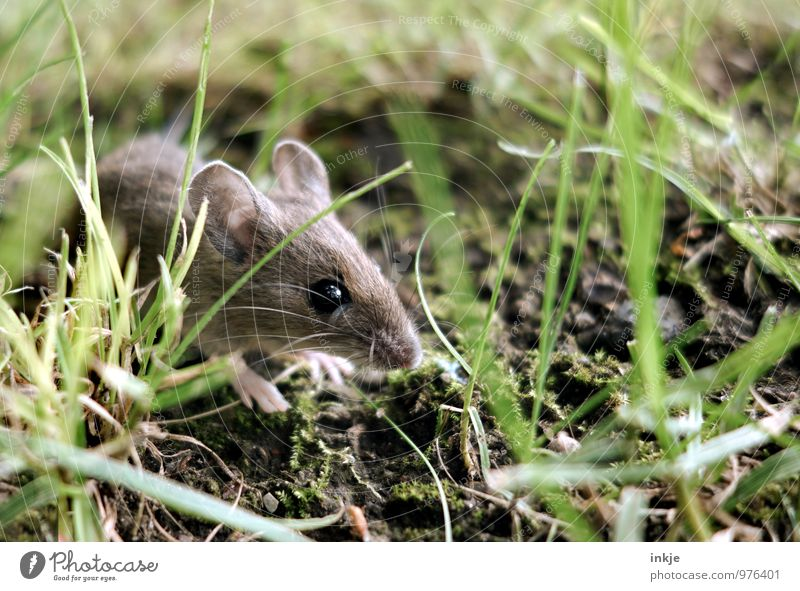 Mice 1 Nature Spring Summer Autumn Grass Moss Woodground Meadow Forest Animal Wild animal Mouse Animal face Crawl Looking Small Near Natural Curiosity Cute