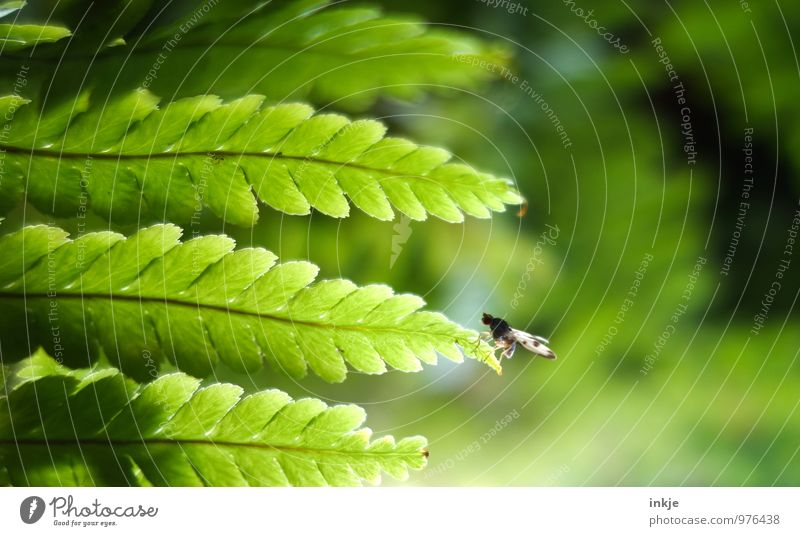 This fly can fly. Nature Plant Animal Fern Leaf Fly Fruit fly 1 To hold on Crouch Sit Fresh Small Natural Green Break Size difference Edge Bright green