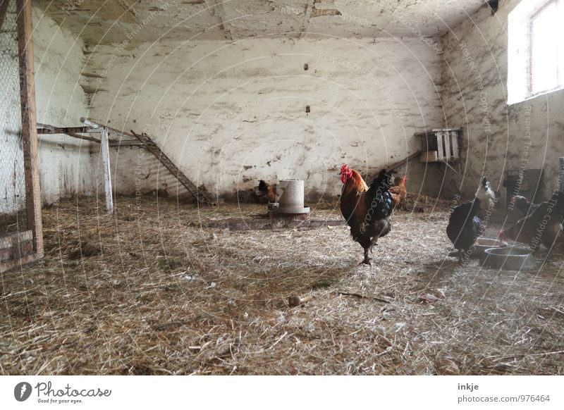 henhouse Deserted Barn Chicken coop Farm animal Rooster Barn fowl Group of animals Herd Animal family Hay Authentic Livestock breeding Keeping of animals