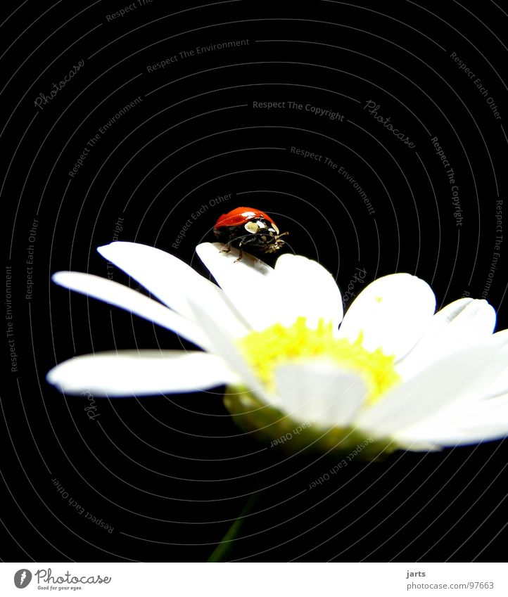 Flower Red Summer Blossom Point Ladybird Beetle Marguerite