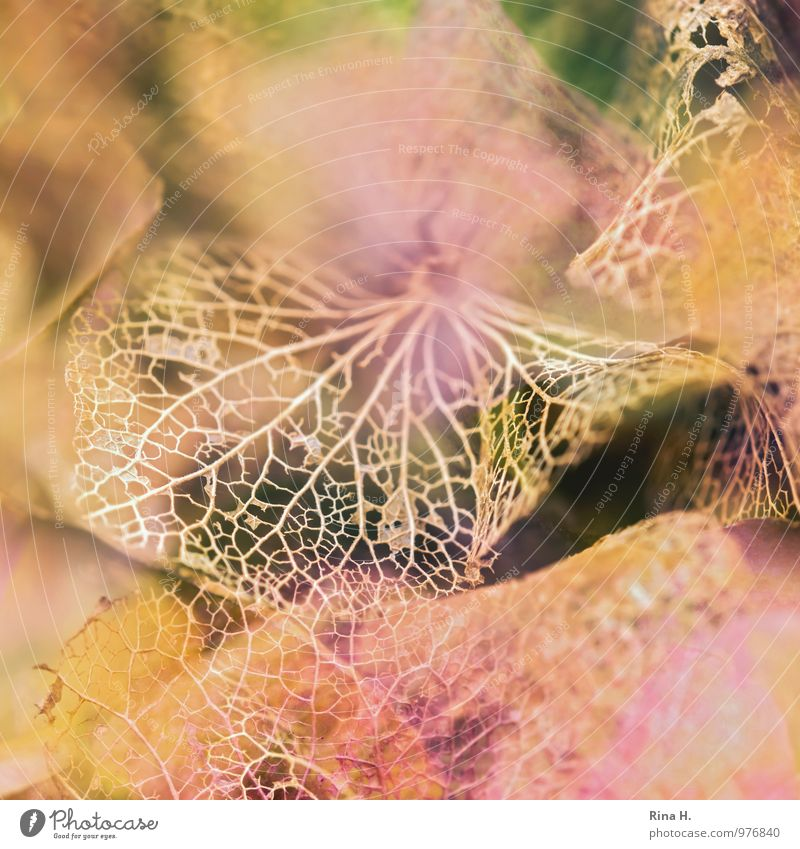 Filigree II Garden Autumn Natural Transience Change Hydrangea blossom Blossom leave Delicate Fragile Rachis Macro (Extreme close-up) Section of image