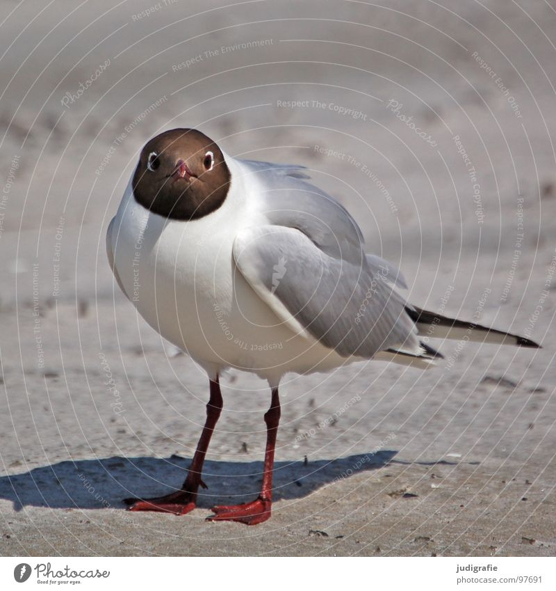 Laugh, seagull! Black-headed gull  Seagull Bird Summer Beach Ocean Lake Vacation & Travel Feather Beak Fischland Western Beach Ornithology Environment Anger