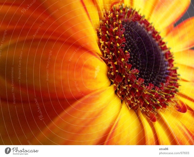 firelike Gerbera Blossom Blossom leave Brilliant Delicate Flower Plant Flowering plant Red Progress Multicoloured Summer Summery Physics Fresh Jump Spring