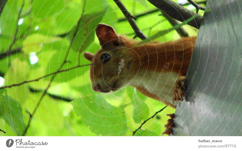 Green Leaf Calm Animal Search Sweet Ear Roof Concentrate Respect Squirrel Auburn