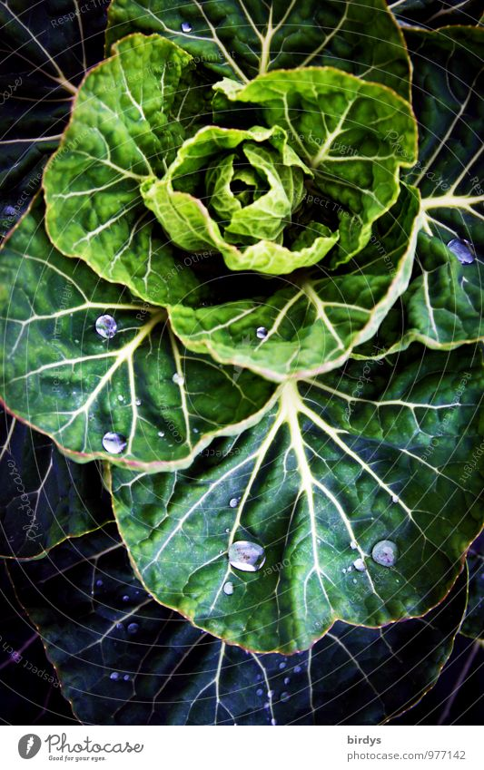 winter vegetables Vegetable Cabbage Plant Agricultural crop Rachis Drops of water Esthetic Original Positive Yellow Green Nature Growth Vegetable farming