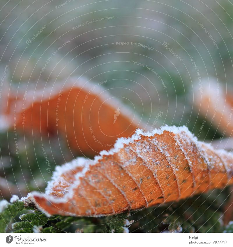 freezing cold... Environment Nature Plant Winter Ice Frost Leaf Park Old Freeze Lie To dry up Esthetic Authentic Exceptional Cold Natural Brown Gray White Moody